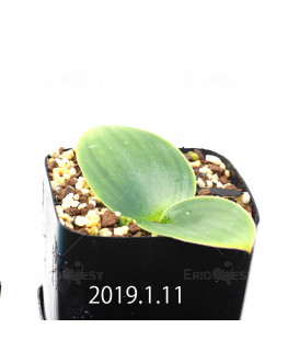 Massonia depressa EQ646 Seedling 11837
