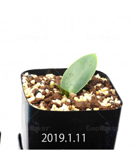 Massonia depressa EQ646 Seedling 11838