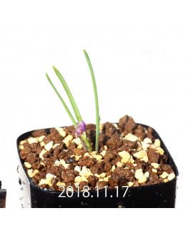 Lachenalia paucifolia EQ660 Seedling 12091