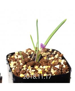Lachenalia paucifolia EQ660 Seedling 12094