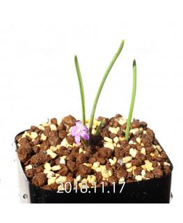 Lachenalia paucifolia EQ660 Seedling 12098