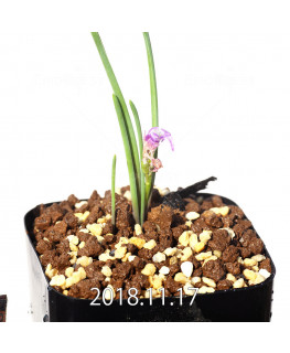 Lachenalia paucifolia EQ660 Seedling 12102