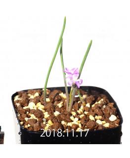 Lachenalia paucifolia EQ660 Seedling 12104