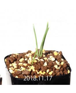Lachenalia paucifolia EQ660 Seedling 12105