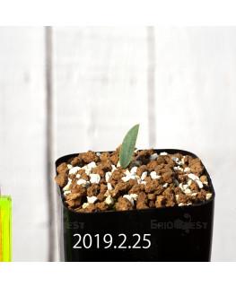 Eriospermum lanceifolium EQ722 Seedling 12725