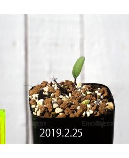 Eriospermum lanceifolium EQ722 Seedling 12726