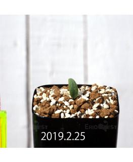 Eriospermum lanceifolium EQ722 Seedling 12727