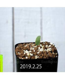 Eriospermum lanceifolium EQ722 Seedling 12729