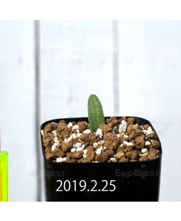 Eriospermum lanceifolium EQ722 Seedling 12730