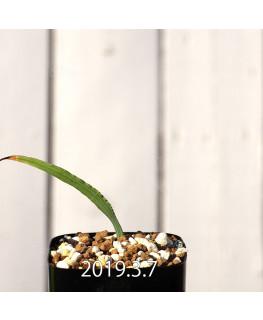 Lapeirousia azurea EQ723 Seedling 12747