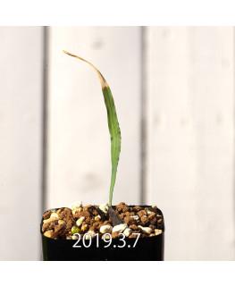 Lapeirousia azurea EQ723 Seedling 12751