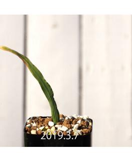 Lapeirousia azurea EQ723 Seedling 12754