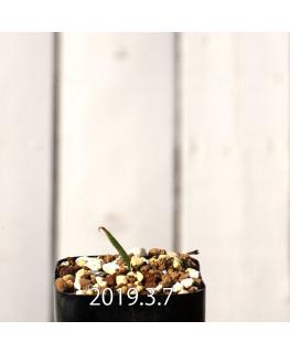 Lapeirousia azurea EQ723 Seedling 12755