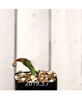 Lapeirousia azurea EQ723 Seedling 12756