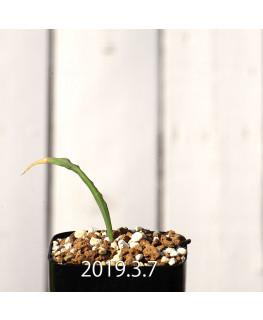 Lapeirousia azurea EQ723 Seedling 12757