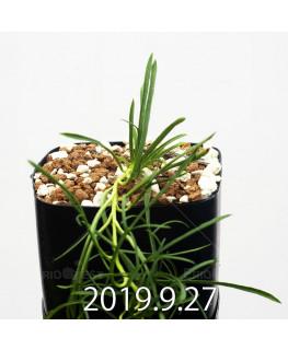 Ipomoea sp. nov. Seedling 13053