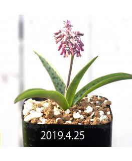 Ledebouria sp. aff. saundersonii Seedling 13352