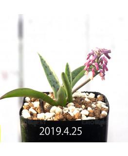 Ledebouria sp. aff. saundersonii Seedling 13359