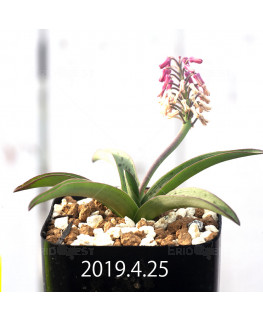 Ledebouria sp. aff. saundersonii Seedling 13360