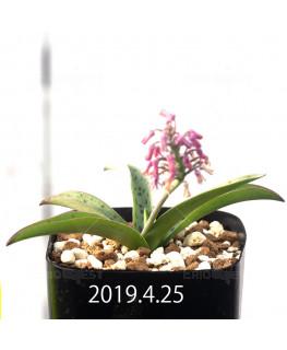 Ledebouria sp. aff. saundersonii Seedling 13361