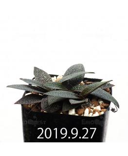 Ledebouria galpinii EQ739 Seedling 13378
