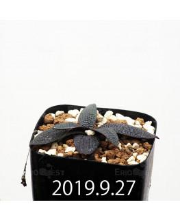 Ledebouria galpinii EQ739 Seedling 13395