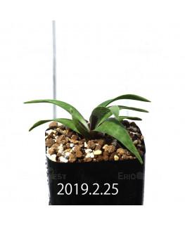 Ledebouria coriacea DMC9654 Offset 13425