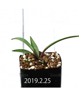 Ledebouria coriacea DMC9654 Offset 13426
