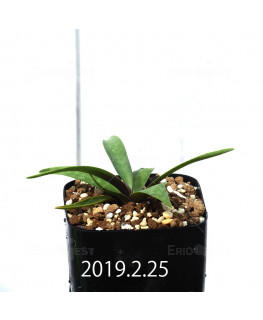 Ledebouria coriacea DMC9654 Offset 13427