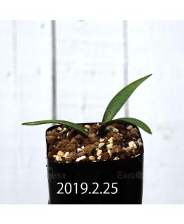 Ledebouria coriacea DMC9654 Offset 13433
