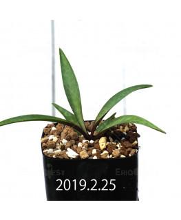 Ledebouria coriacea DMC9654 Offset 13436