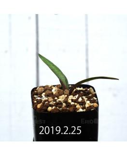 Ledebouria coriacea DMC9654 Offset 13441