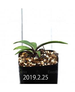 Ledebouria coriacea DMC9654 Offset 13442