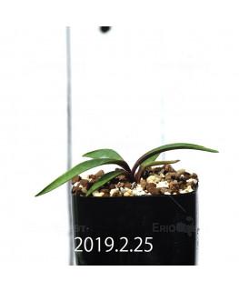 Ledebouria coriacea DMC9654 Offset 13443