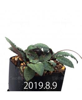 Drimiopsis sp. EQ496 Offset 13515