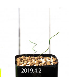 Cyrtanthus helictus EQ741 Seedling 13586