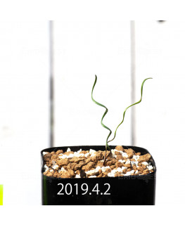 Cyrtanthus helictus EQ741 Seedling 13587
