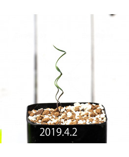 Cyrtanthus helictus EQ741 Seedling 13593
