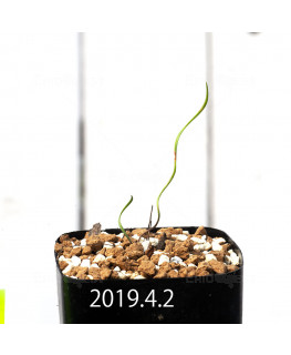 Cyrtanthus helictus EQ741 Seedling 13594