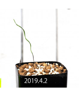 Cyrtanthus helictus EQ741 Seedling 13595