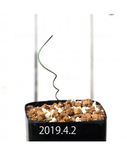 Cyrtanthus helictus EQ741 Seedling 13598