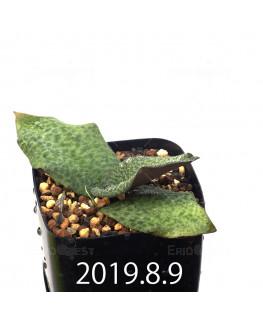 Resnova megaphylla Seedling 13978