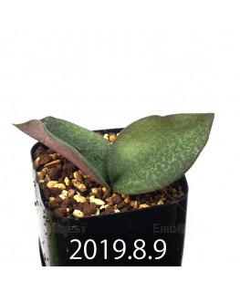 Resnova megaphylla Seedling 13980