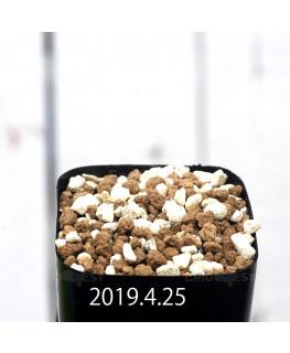 Resnova megaphylla Seedling 13986