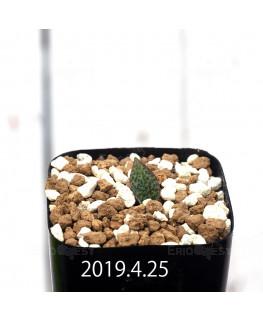 Resnova megaphylla Seedling 13996