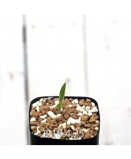 Drimiopsis atropurpurea EQ756 Seedling 14013