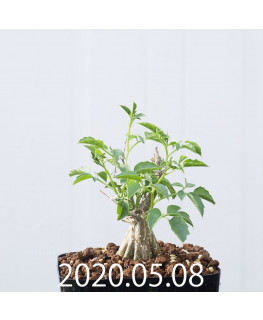 Momordica rostrata EQ783 Seedling 15098