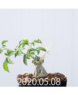 Momordica rostrata EQ783 Seedling 15100