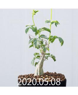 Momordica rostrata EQ783 Seedling 15101