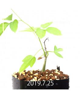 Momordica rostrata EQ783 Seedling 15102